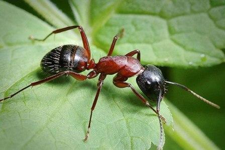 Как избавиться от муравьев в теплице - актуальный среди садоводов и огородников вопрос
