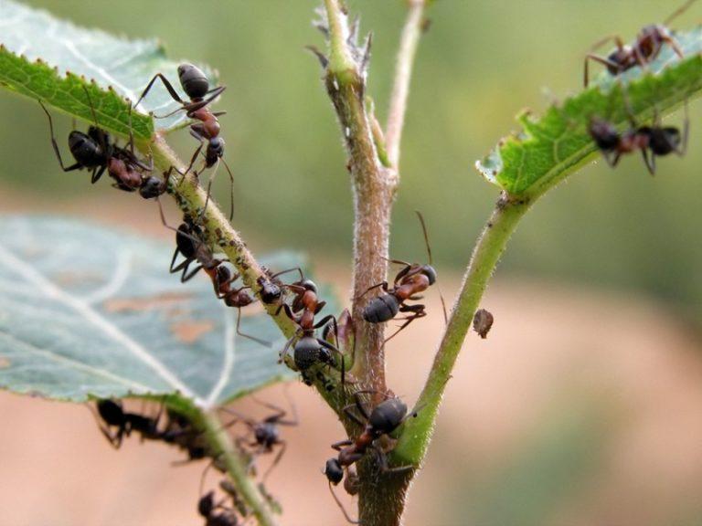 Муравьи в теплице могут заводиться по нескольким причинам