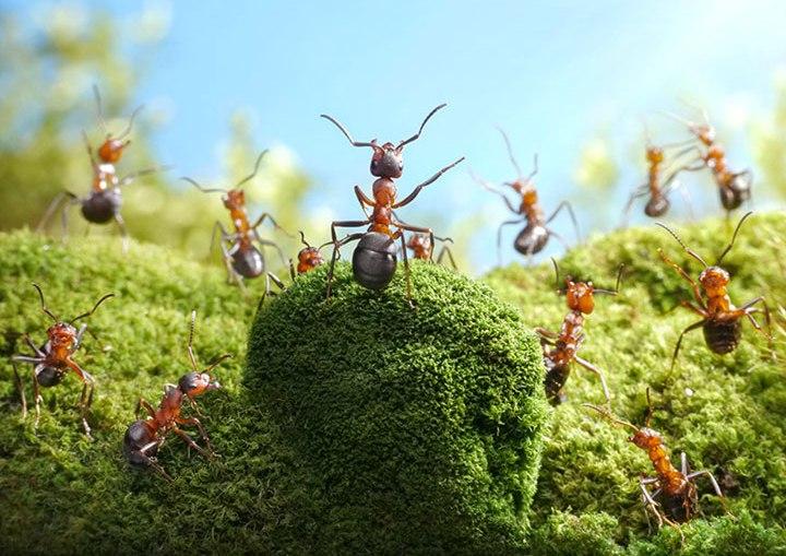 Борьба с муравьями должна вестись до полного уничтожения или изгнания всей колонии
