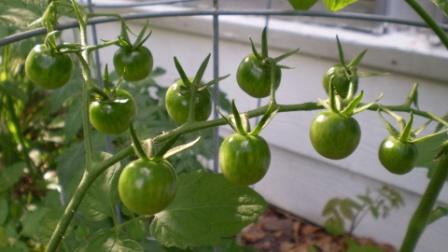 Иногда начинающие овощеводы в процессе выращивания пасленовых культур не могут понять, почему не краснеют помидоры в теплице