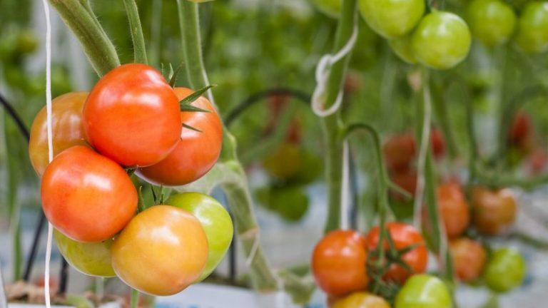 В большинстве случаев томаты не успевают вовремя поспеть из-за отсутствия благоприятных условий для активного роста