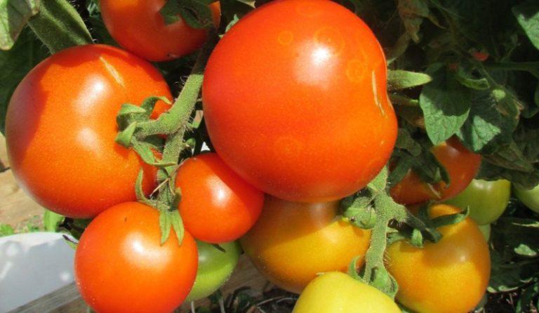 В некоторых случаях неравномерная окраска помидоров может быть вызвана высокой плотностью посадки