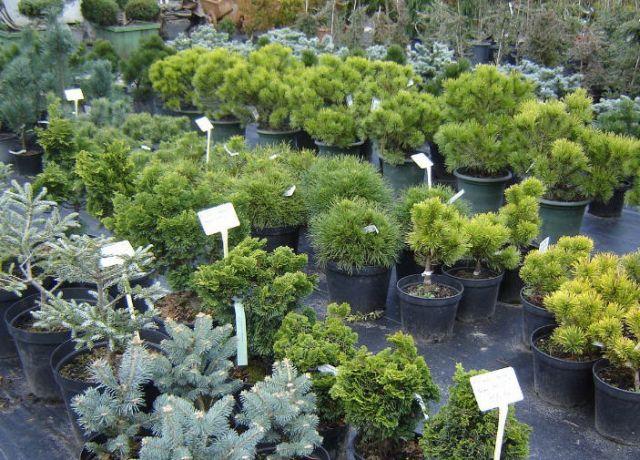 В теплицах «Новые технологии» можно приобрести хвойные растения