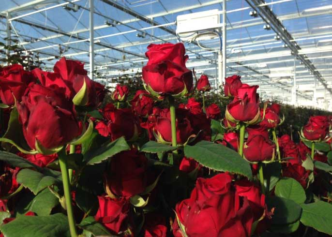 «Новые технологии» предлагают около 140 сортов роз