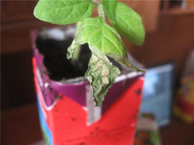 Наиболее часто нижние листья отваливаются при выращивании растений на балконе или подоконнике, ведь в этом случае человеку достаточно сложно создать оптимальную среду для роста и развития молодых растений