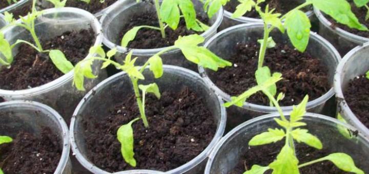 Когда нижние листья начинают опадать не просто на отдельных растениях, а на всей выращиваемой рассаде, а также наблюдаются другие симптомы, к примеру, одеревенение нижней части ствола, скорее всего, проблема кроется в недостатке питательных веществ