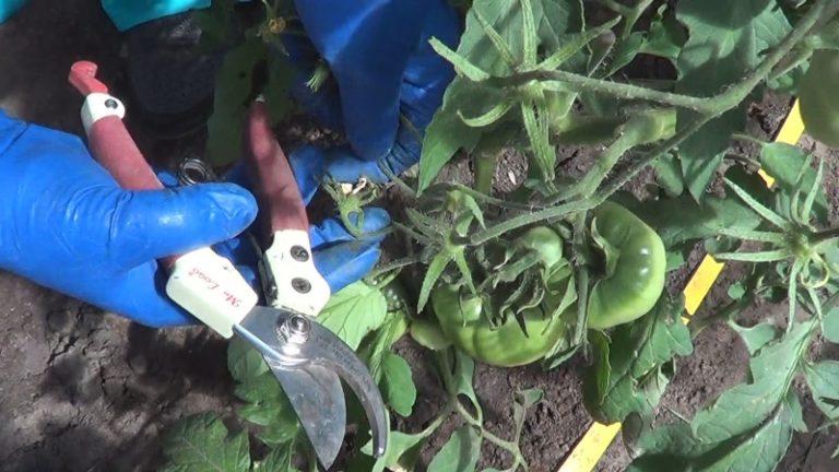 Основные манипуляции огородника направлены на своевременное избавление от ненужных листьев на растущих помидорах