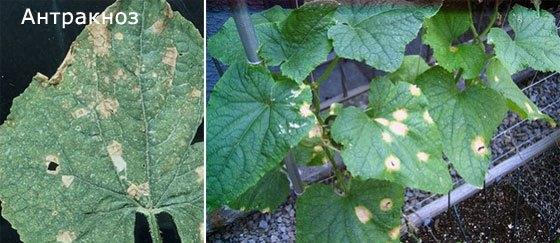 Как только вы заметите на ваших растениях желто-бурые пятна, нужно бить тревогу, так как растение заболело антракозом