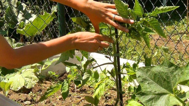 Регулярно удаляйте вновь выросшие пасынки, лишние или поврежденные листья у помидоров, тщательно проверяя растение каждые 4-6 дней