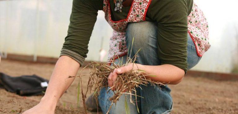 Необходимо собрать и сжечь остатки растений, веревки, колышки и прочий мусор