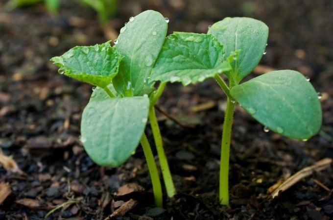 Рассаду после появления пары семядольных листьев нужно вынести на свет и прохладу