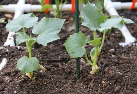 Чтобы урожай радовал количеством, вкусом и качеством плодов, необходима регулярная подкормка огурцов в открытом грунте