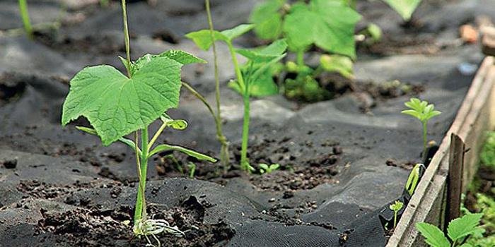Посадка и выращивание огурцов в июле имеет много плюсов, а главное, почва к этому времени уже успевает полностью насытиться влагой, что важно для богатого урожая