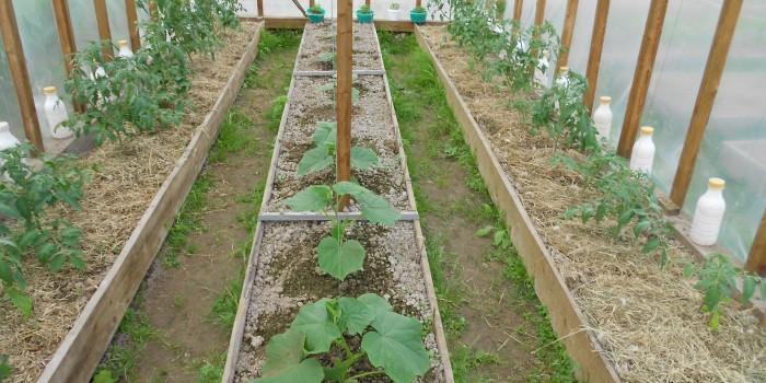 Выращивание огурцов и помидоров имеет свои характерные особенности
