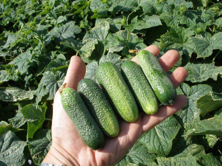 Если рассматривать сорта огурцов самые урожайные, то Маша подходит лучше всего