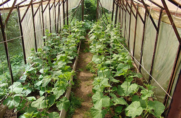 Недостаточная степень освещенности и слабая обеспеченность теплом провоцирует длительное выращивание