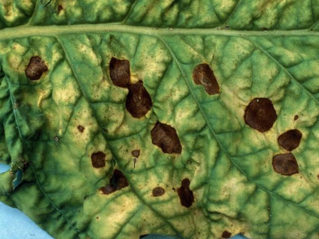 Кладоспориоз, или оливковая пятнистость, развивается на листе и имеет вид язв различной формы