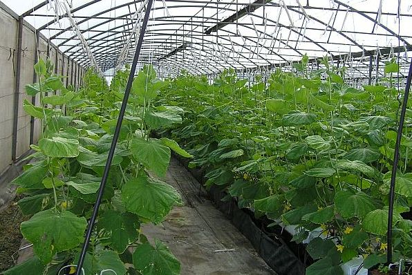 Выращивание огурцов в теплице круглый год немыслимо без использования специальной пленки для мульчирования
