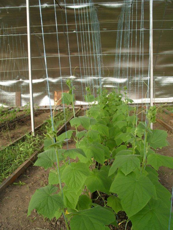 Этап формирования растения требует определенной температуры в помещении. Влажность воздуха должна быть невысокой