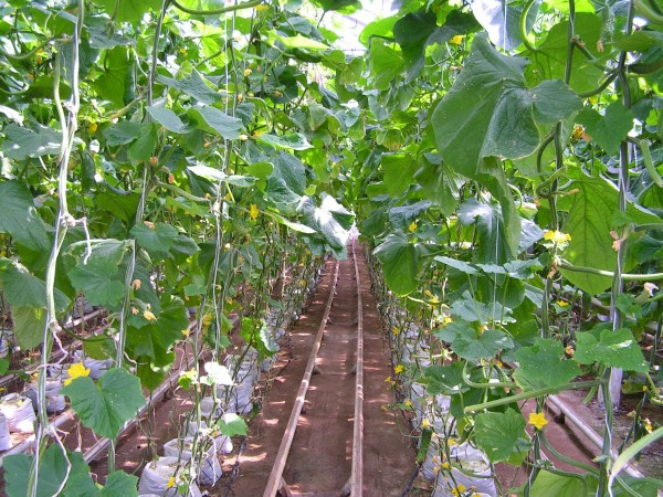 Самое интенсивное орошение необходимо в сезон образования плодов и цветения