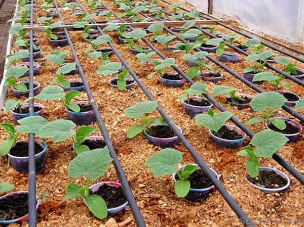 Чтобы выращивать огурцы в зимнее время, рядом с теплицей должен быть источник воды, пригодный для полива