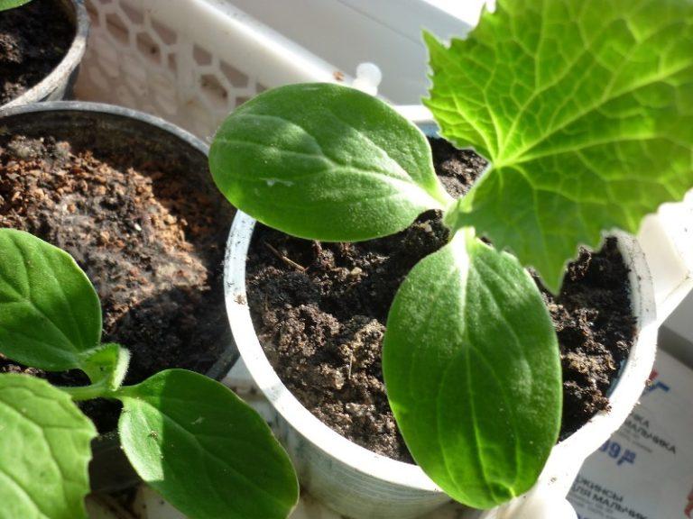Температура во время выращивания рассады должна быть около 20°С днем и не ниже 12-15°С ночью