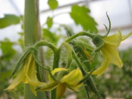 Помидор у современных дачников - один из самых часто выращиваемых овощей