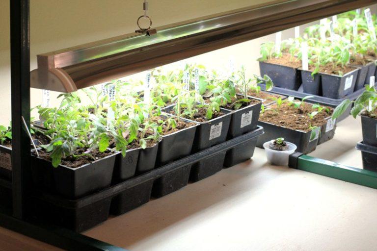 Досвечивание на этапе получения рассады улучшает ее качество и повышает урожайность растений
