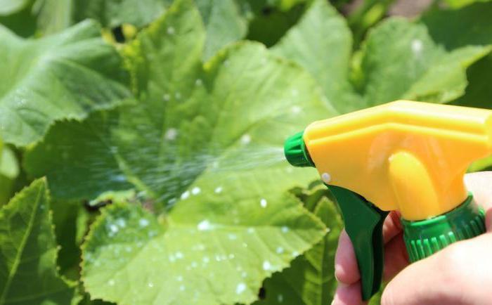 Необходимо обязательно знать, чем опрыскивать огурцы, чтобы в результате получить качественный и большой урожай