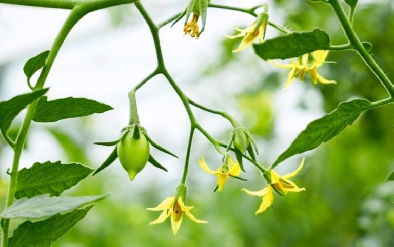 На стадии образования завязей томатам необходим азот. В это время нужно поливать помидоры водным настоем коровяка