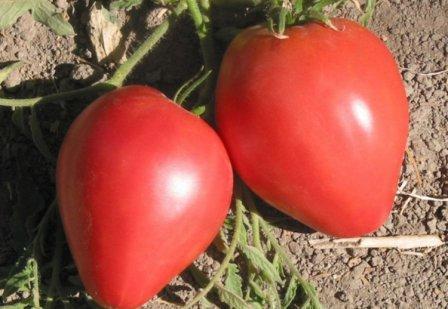 Среди множества овощных сортов, которые появились в последние годы, есть примечательный томат Орлиный клюв