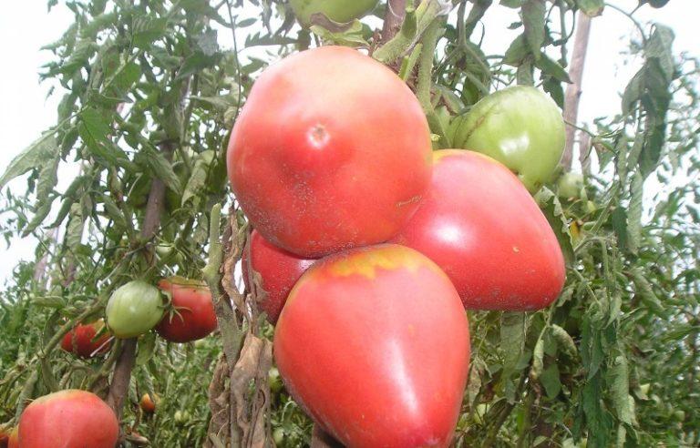 Поспевают овощи дружно и рано, от прорастания ростков до созревания первых товарных плодов требуется не более 100 дней