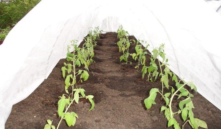 Готовый парник Даяс имеет удобную конфигурацию, отлично приспособленную к проведению полива, прополки рассады, а также к внесению удобрений и средств защиты растений