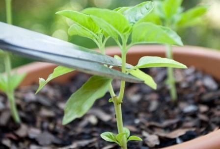 При выращивании перца формирование куста выступает как важный прием агротехники