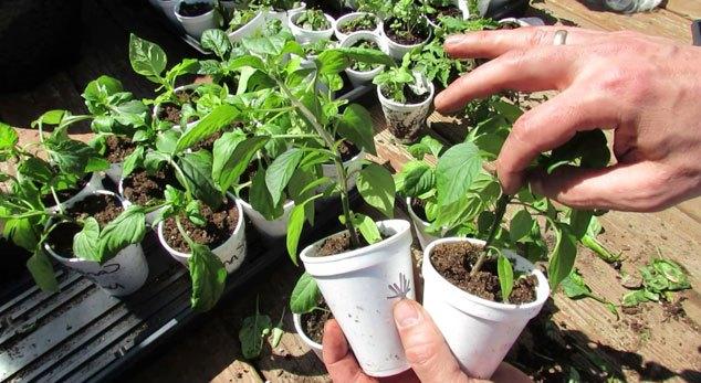 Некоторые огородники никак не могут определиться, насколько необходимо пасынкование перцев