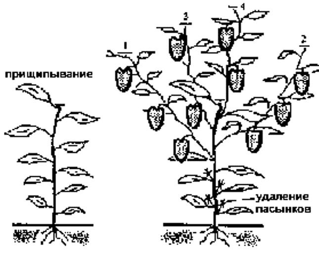 Перец — растение кустового типа. При правильном отношении к формированию можно увеличить размер перцев, созревание их ускорится