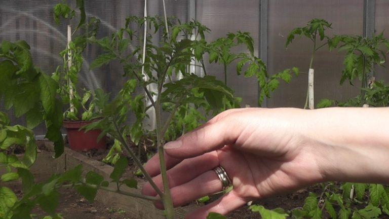 Последний пасынок под самой верхней кистью помидор всегда стоит оставлять