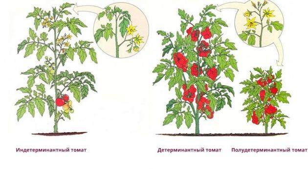 Сорта помидор бывают детерминантными и интердетерминантными