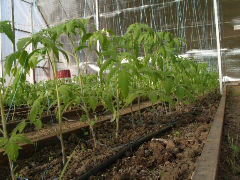 Схема посадки помидор в теплице иная, нежели в открытом грунте