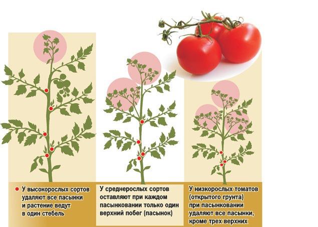 Формирование и рост второстепенных веток у разных видов помидорной культуры отличается