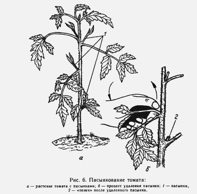 Пасынкование помидоров — это процесс удаления всех ненужных второстепенных побегов, забирающих у основного стебля питательные вещества