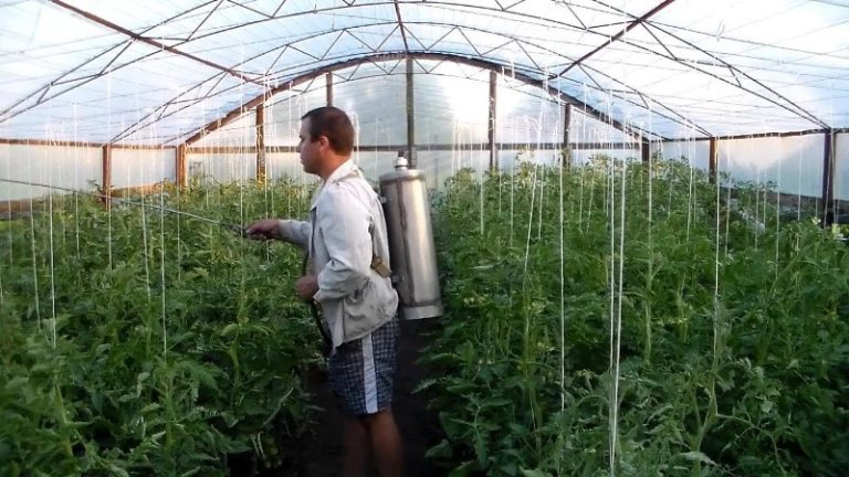 Несмотря на то что многие огородники стараются как можно реже использовать химические средства, все же когда дело касается паутинного клеща, присутствующего на листьях помидор в больших количествах, лучше всего использовать именно этот вариант