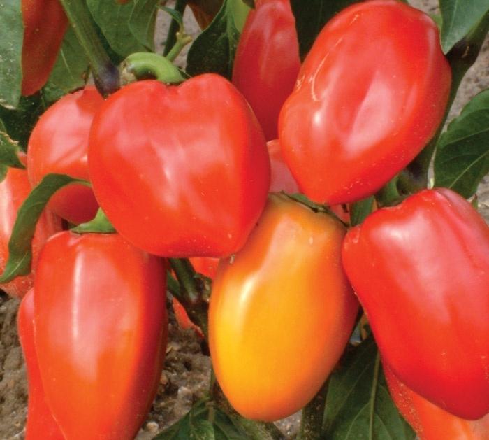 Винни-Пух — это специально выведенный раннеспелый сорт для теплиц