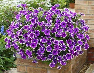 Цветы петуния - это кустарниковое растение, относящееся к пасленовым