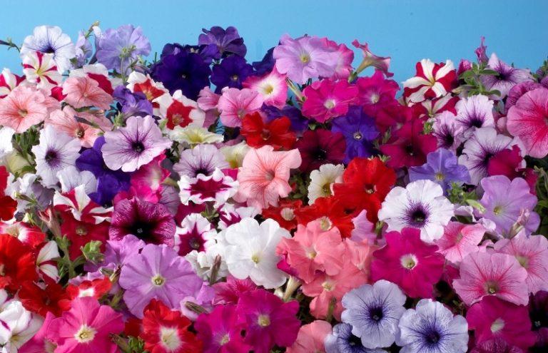 Все сорта подразделяются на 2 большие группы — это многоцветковые и крупноцветковые