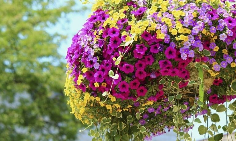 Многоцветковые петунии — это ранние цветы. Цветение представляет собой формирование множества цветков, которые составляют 5 см в диаметре