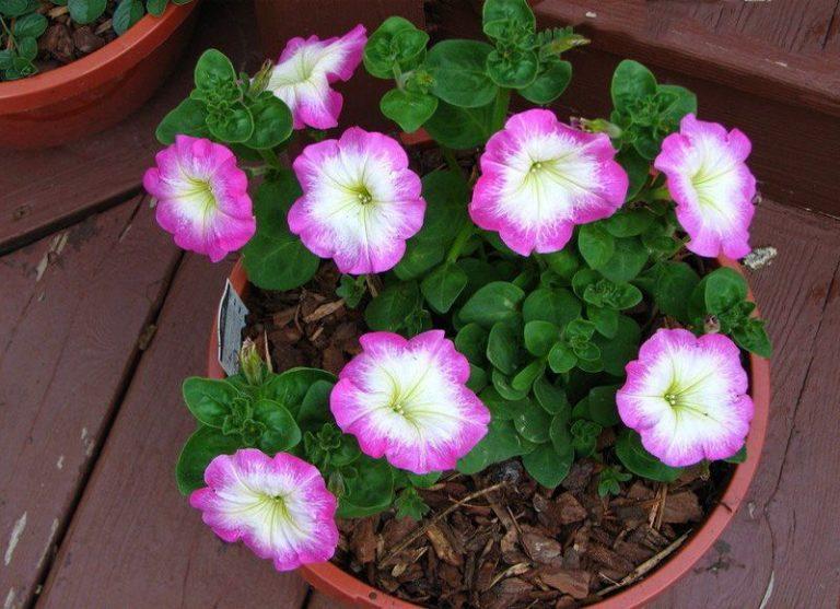 Флорибунда — это группа петуний, которая сочетает особенности многоцветковых и крупноцветковых