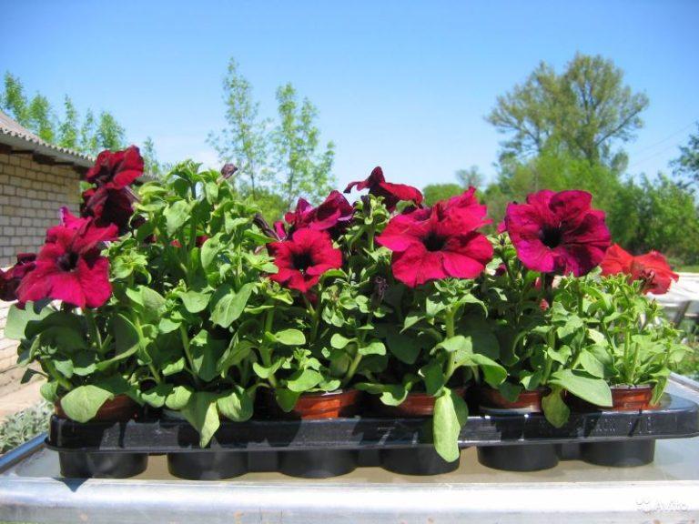 Если высадить петунию, которая уже дала цвет, то цвести она будет вплоть до ноября