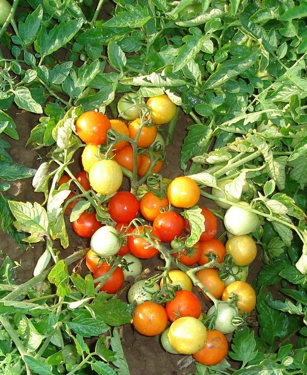 Пасленовое растение относится к скороспелым сортам