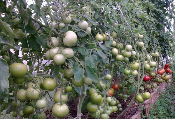 Описание помидора говорит о том, что, являясь высокорослым сортом томатов, Парадайз нуждается в специальной подвязке